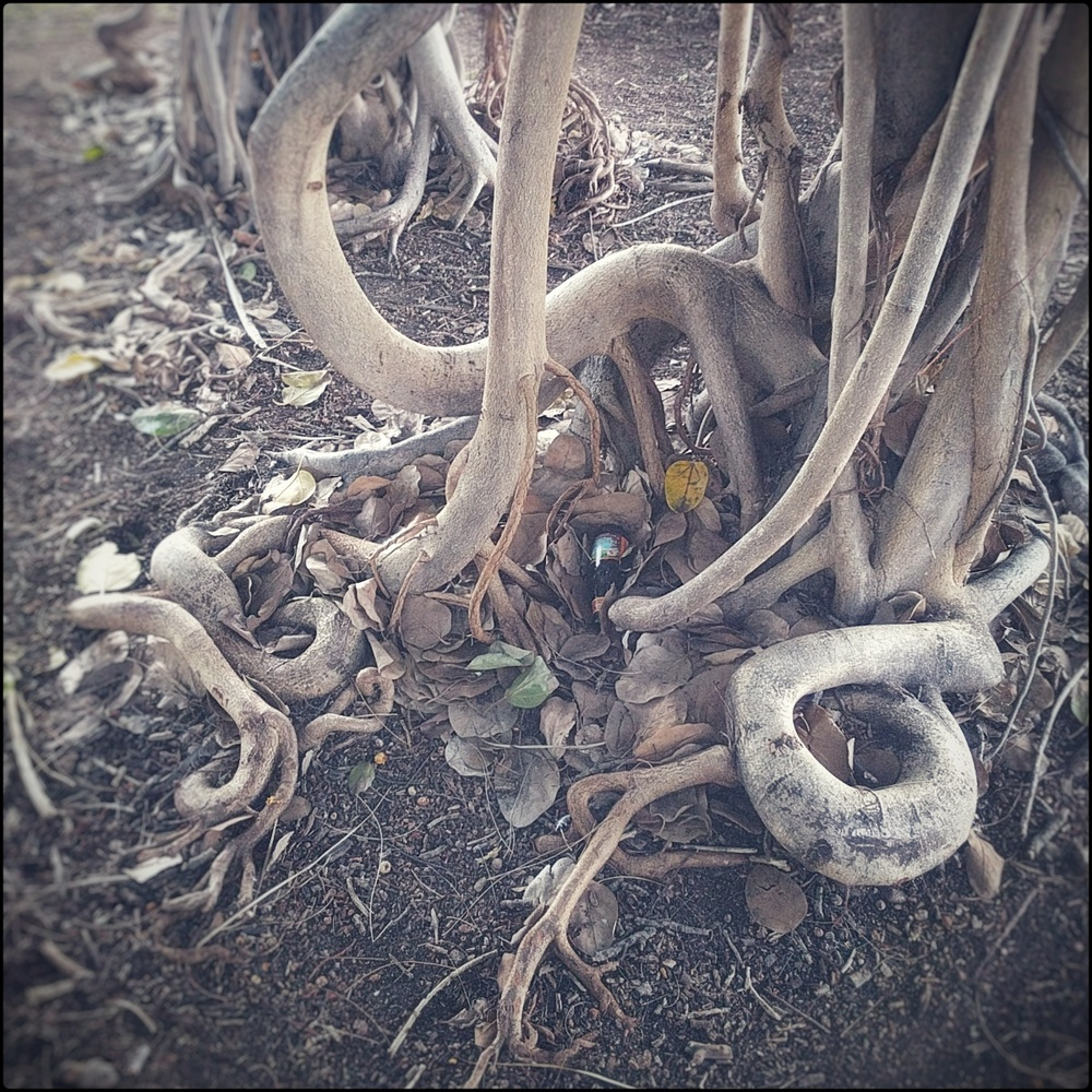 photo of a set of banyan roots, tangled coils like snakes digging into the earth