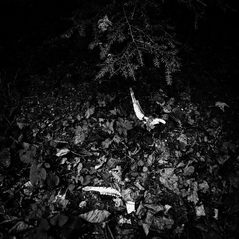 black and white photo of two separate deer jawbones buried under leaf debris