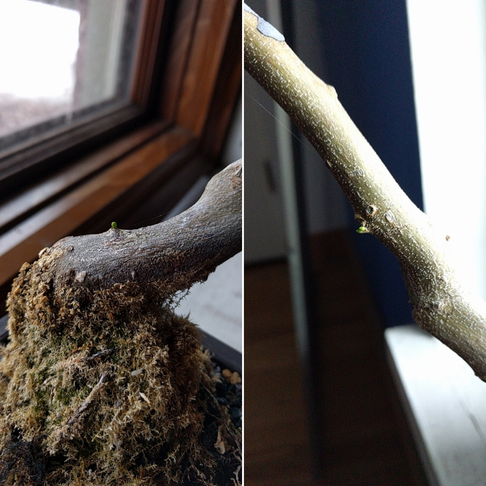 side by side of two views of a brazilian rain tree bonsai, closeup on the trunk with two tiny green buds poking out