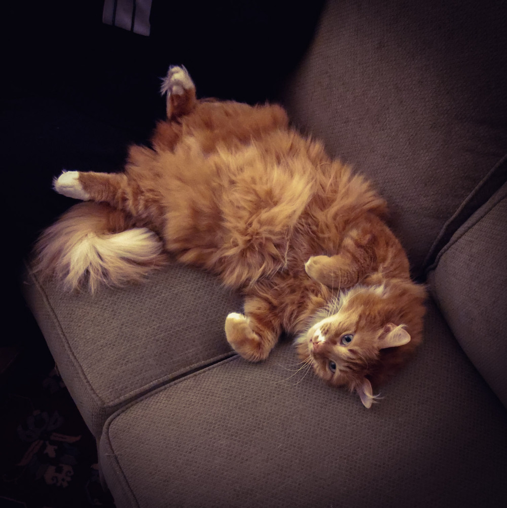 an extremely fluffy orange cat rolling over on a couch, displaying its belly